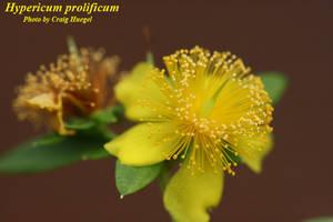 Hypericum prolificum
