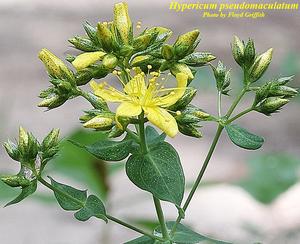 Hypericum pseudomaculatum