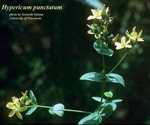 Hypericum punctatum