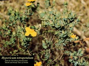 Hypericum tetrapetalum