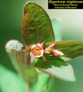 Hypericum virginicum