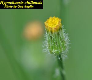 Hypochaeris chillensis