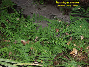 Hypolepis repens
