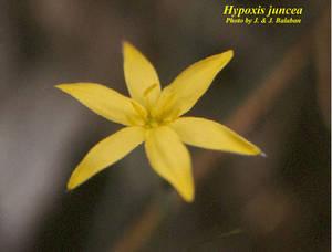 Hypoxis juncea