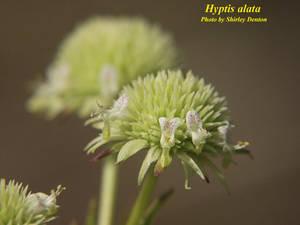 Hyptis alata
