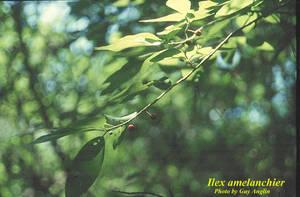 Ilex amelanchier