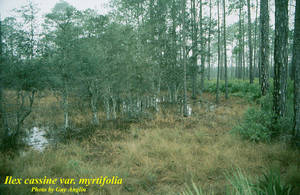 Ilex cassine var. myrtifolia