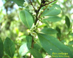 Ilex coriacea