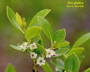 Ilex glabra