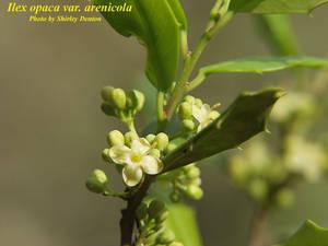 Ilex opaca var. arenicola