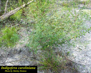 Indigofera caroliniana