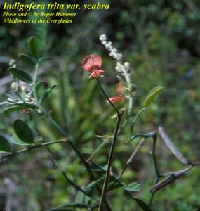 Indigofera trita subsp. scabra