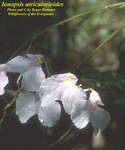 Ionopsis utricularioides