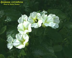 Ipomoea corymbosa
