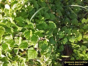Ipomoea macrorhiza