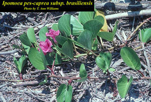 Ipomoea pes-caprae subsp. brasiliensis