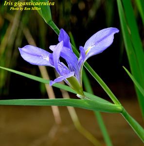 Iris giganticaerulea