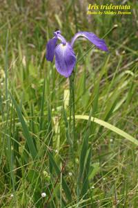 Iris tridentata