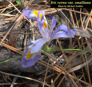 Iris verna var. smalliana