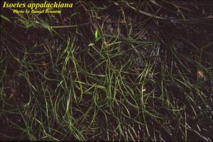 Isoetes appalachiana
