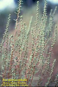 Iva microcephala