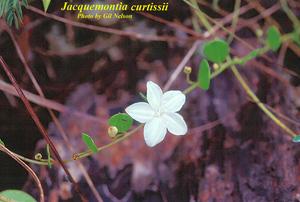 Jacquemontia curtisii