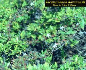 Jacquemontia havanensis