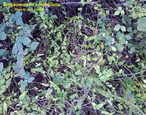 Jacquemontia verticillata