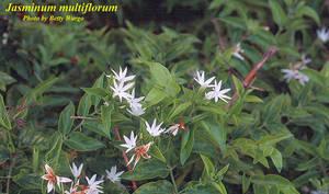 Jasminum multiflorum