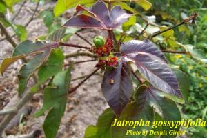 Jatropha gossypiifolia
