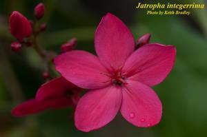 Jatropha integerrima