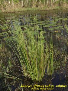 Juncus effusus subsp. solutus