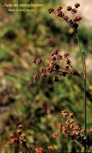 Juncus marginatus