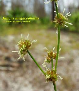 Juncus megacephalus