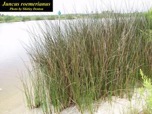Juncus roemerianus