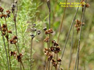 Juncus scirpoides