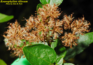Koanophyllon villosum