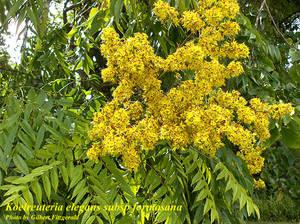 Koelreuteria elegans subsp. formosana