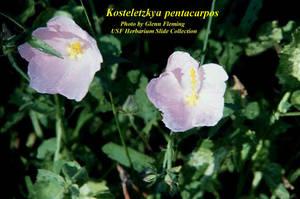 Kosteletzkya pentacarpos