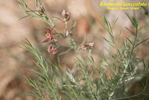 Krameria lanceolata