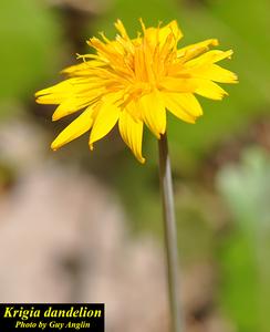 Krigia dandelion