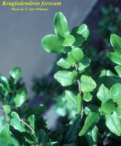 Krugiodendron ferreum