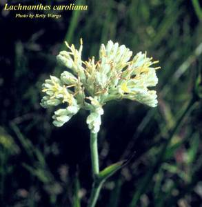 Lachnanthes caroliana