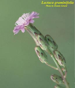 Lactuca graminifolia