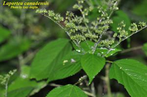 Laportea canadensis