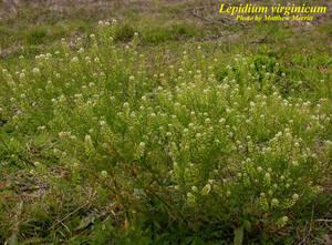 Lepidium virginicum