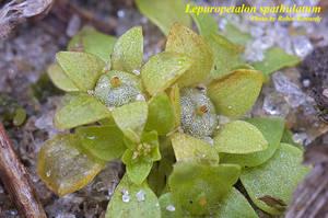 Lepuropetalon spathulatum