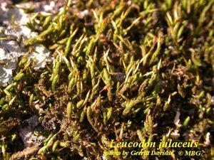 Leucodon julaceus