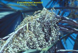 Leucothrinax morrisii