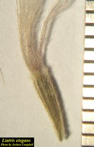 Liatris elegans
